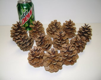 "Bulk Pine Cones- Ponderosa and Scotch Pine Cones- 2 1/2"" to 3 1/2"" Freshly Picked for Crafts, Wreaths, Floral! Also 2"" Pine Cones!!"
