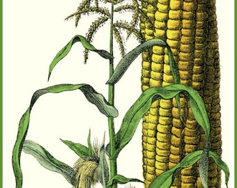 Art Print Kitchen Art Sweet Corn Victorian 1800s - Print 8 x 10