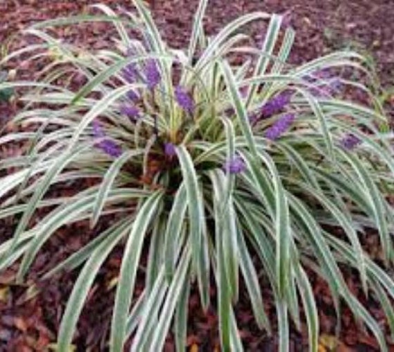 Silver dragon variegated liriope monkey by for Variegated grass plant