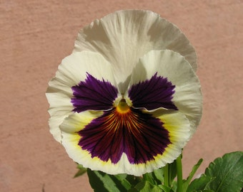 Pansy silverbride seeds white purple,508