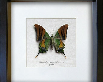 Teinopalpus Imperialis Emperor Of India Swallowtail Verso RARE Butterflly In Museum Quality Display