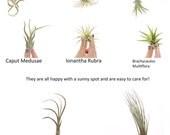 Add On Air Plants, Tillandsias