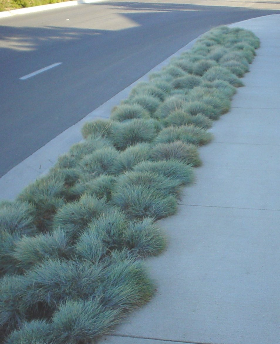 Blue fescueornamental grass seeds festuca glauca for Small blue ornamental grass