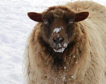 Big Mama - Shetland Yarn