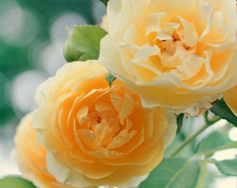 Yellow Roses - Photo Print, flower photography, spring, botanical, summer
