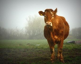 Cow Photograph / Cow Print / Animal Photography / Home Decor / Wall Art / fpoe / Farm Print / Nursery Art / Nature