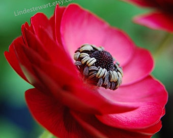 Red Flower, Ranunculus against Green Background, flower photography