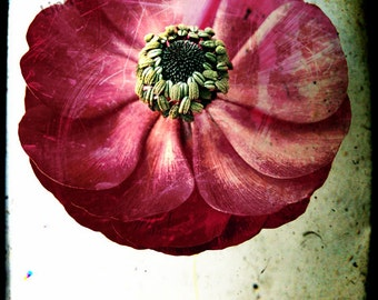 Red Ranunculus. Flower Photograph, distressed image. floral wall art