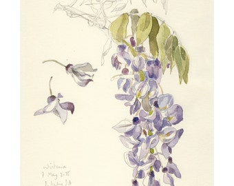 Wisteria watercolor & pencil drawing PRINT - Wisteria blossom botanical painting, pencil and watercolor - Botanical floral art by Catalina.