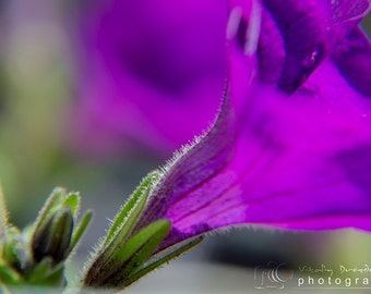 Nature photography, Flower photos, Spring, Art home decor, Fine Art Photograph, Macro photography, purple flower Heavenly