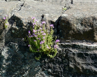 Flower and Rock Photography Print Scotland Nature