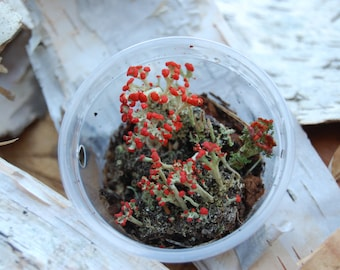 British Soldier Lichen (Perfect for Fairy Gardens!)