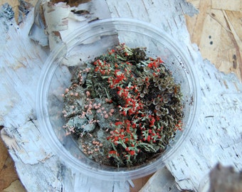 British Soldier and Pink Earth Lichens  (Perfect for Fairy Gardens!)