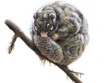 Possum - Australian Wildlife - Art Print - Woodland