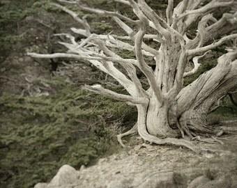 Rustic Decor, Nature Photography, Cypress Tree, Fine Art Print, California, Monterey, Nature Tree Print, Neutral Decor