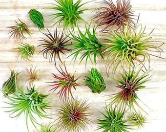 Discount! 3 Pack assorted Tillandsia air plants - Easy Care collection variety