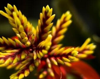Bromeliad Fireworks