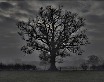 Claverly Oak Tree on a Misty Morning Framed