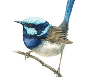 Wren, bird prints, bird paintings, limited edition, blue wren, blue bird
