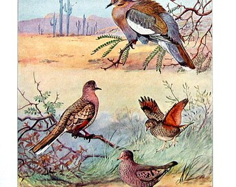 Bird Print - White Winged Dove, Ground Dove, Inca Dove - 1932 Book Page from Vintage Bird Book -10 x 7