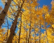 Colorado aspens photography 2, aspens print (free shipping)