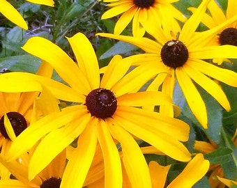Black-eyed Susans fine art photography print (free shipping)