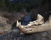 Resin Bear Jaw
