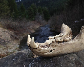 Resin Bear Jaw