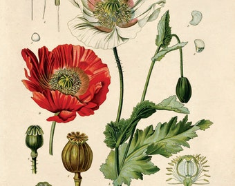 Botanical Papaver somniferum Opium Poppy Print. Educational Chart Diagram Poster from Kohler's Botanical. Flower Garden roses - CP246