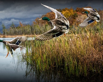 Mallard Drake Ducks Flying in for a Landing on a Midwest Michigan Lake No.125 Fine Art Waterfowl Migratory Bird nature Photography