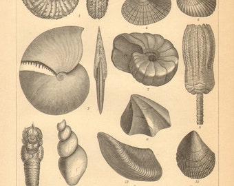 1896 Original Antique Engraving of Fossils from the Mesozoic Era, Triassic and Jurassic Period