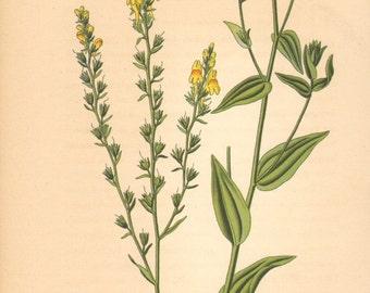 1884 Broomleaf Toadflax, Linaria genistifolia Antique Lithograph