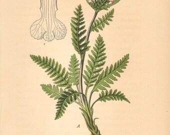 1884 Fernweed, Sudeten Lousewort or Sedetic Lousewort, Pedicularis sudetica Antique Lithograph