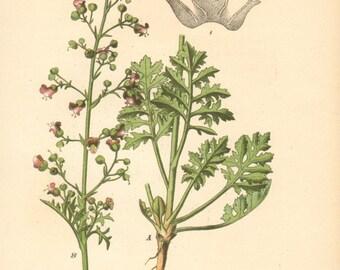1884 Hopp's Figwort, Scrophularia hoppii Antique Lithograph