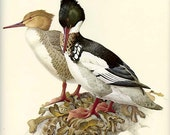 RED-HEADED MERGANSER Vintage J. F. Lansdowne Book Plate 8 Birds of the Northern Forest