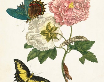Vintage Butterfly Print No. 24, Botanical Print, Giclee, Art Print, Maria Sybilla Merian Butterfly Prints, Natural History Art, Illustration