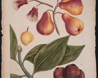 Botanical, Print, Fruit- Weinmann - Pear, Fruit; Jambos. 601 - 1737 Phytanthoza Iconographia Botanical
