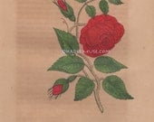 Beauty Fades & Dies-Garden-Perfume-Rosebud-Thorns-Red Rose-Summer-Bloom-1842 Antique Vintage Color Art PRINT-Gothic Picture-Victorian Poem