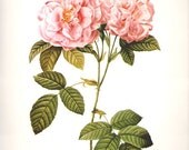 LARGE Vintage REDOUTE Pink Italian Damask Rose 144 Botanical Print plant print botanical print bookplate art print 1970 plants wall art