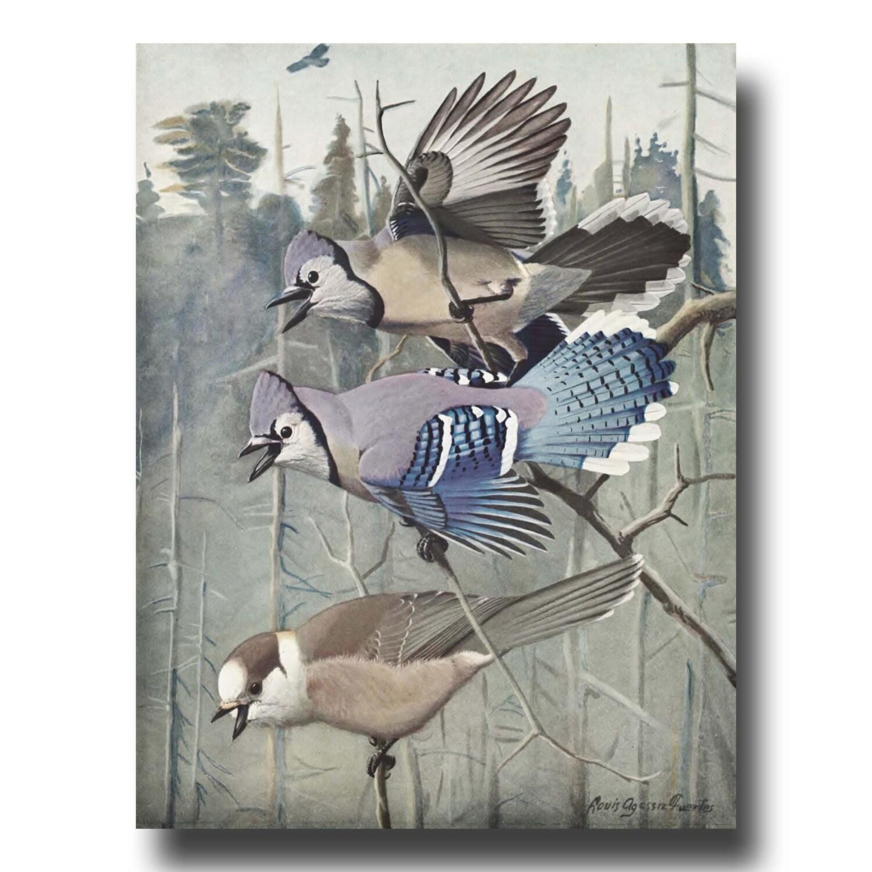 Rustic Wall Decor Blue Jay Art 1930s Bird Illustration