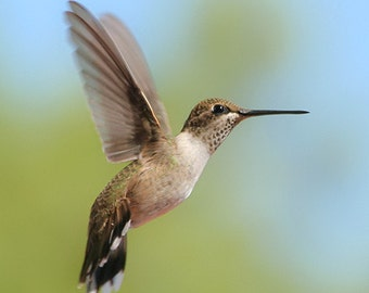 Flying Hummingbird Photography, humming bird lover gift, nature wall decor, wild bird photography, fine art print