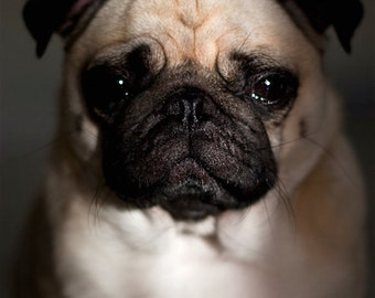 """Shop """"pugs"""" in Photography"""