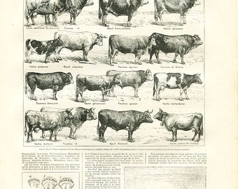 """Antique French Etching 1898's  - European Cattle Breeds  - 7.8"""" x 11.4 inches  - A33"""