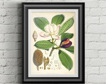 Magnolia botanical art print. Wall art print. Vintage botanical prints. Flower illustration print. Antique botanical print. Magnolia print.