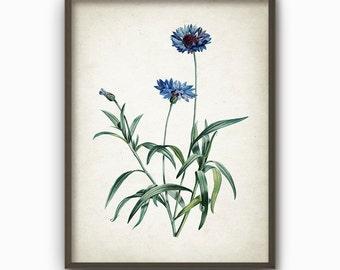 Blue Cornflower Antique Botanical Art Print - Vintage Botanical Home Decor - Antique Illustration - Giclee Blue Flowers Picture (AB65)