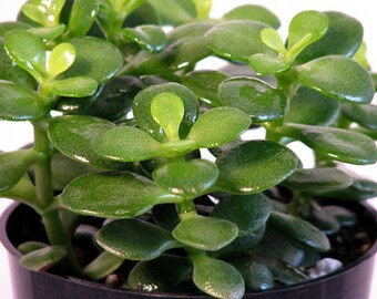 "Mini Leaf Jade Plant - Crassula - Easy to Grow - 3"" Pot"