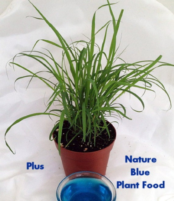 Lemon Grass Plant Cymbopogon With Nature Blue™ by HirtsGardens