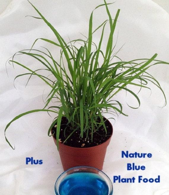 Lemon Grass Plant Cymbopogon With Nature Blue™ by HirtsGardens