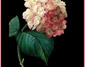 antique french victorian botanical print pink hortensia on black background illustration digital download