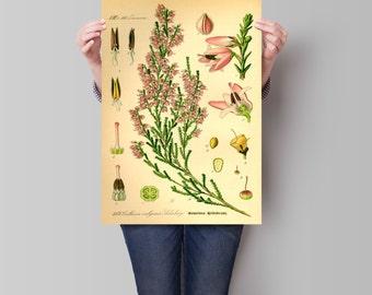 Botanical art heather plant botanical illustration. Botanical print. Heather illustration print. Home decor. Wall art. Kitchen decor.